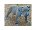 Reinrassige American Pit Bull Welpen