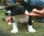 Regalo perros jack russell terrier