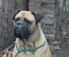 Cachorros Bullmastiff disponibles