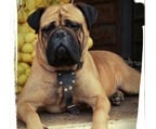 Bullmastiff inscritos kennel