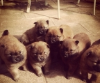 Chow Chow hembras