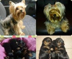 YORKIES BELLOS