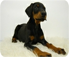 Doberman, espectacular camada